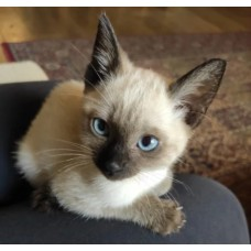 LITTER SIAMESE CATS THAI MALE FEMALE SEAL POINT 65 DAYS WARRANTY CONTRACT