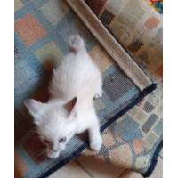 CATS MALE AND FEMALE SIAMESE OLD BOB THAI SEAL E TABBY POINT BOBTAIL 71 DAYS WARRANTY AGREEMENT