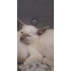 LITTER SIAMESE CATS THAI LILAC POINT 68 DAYS PURE BREED KITTENS WARRANTY CONTRACT