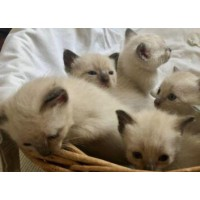 WITH PEDIGREE FOR REPRODUCTION LITTLE CATS MALE FEMALE SIAMESE OLD THAI SEAL POINT 90 DAYS WARRANTY CONTRACT