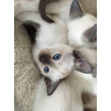 WITH PEDIGREE LITTER SIAMESE CATS THAI MALE FEMALE SEAL POINT 66 DAYS WARRANTY CONTRACT