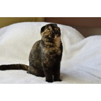 LITTER OF CATS SCOTTISH TORTIE STRAIGHT AND FOLD 65 DAYS WARRANTY AGREEMENT