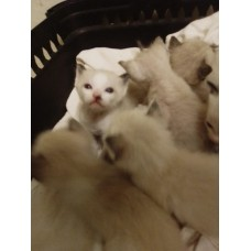LITTER SIAMESE CATS SIAMESE-SHORTHAIR SNOWSHOE SEAL POINT 65 DAYS WARRANTY CONTRACT