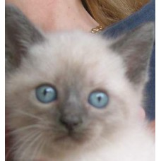 CATS SIAMESE CLASSIC BLUE POINT 75 DAYS MALE AND FEMALE WARRANTY CONTRACT