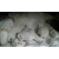 SIBERIAN CAT PUPPIES NEVA MASQUERADE HYPOALLERGENIC CAT. 5 70 DAYS WARRANTY CONTRACT