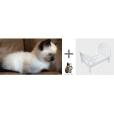 PROMOTION CAT BED ERGAL + SIAMESE LITTER THAI CHOCOLATE POINT FEMALE AND MALE 71 DAYS WARRANTY CONTRACT